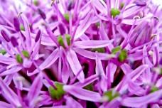 Lilac onion Flower